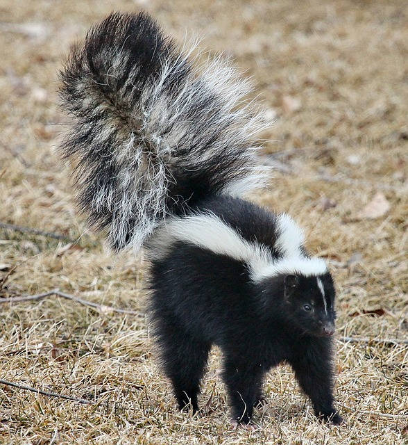 nuisance skunk in West Deerfield Illinois