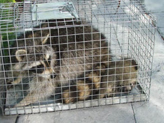 Raccoon Control Illinois