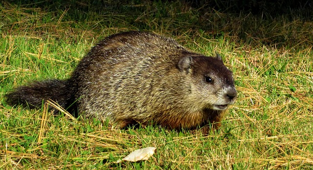 woodchuck removal company
