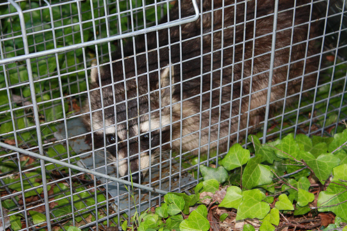 raccoon extermination