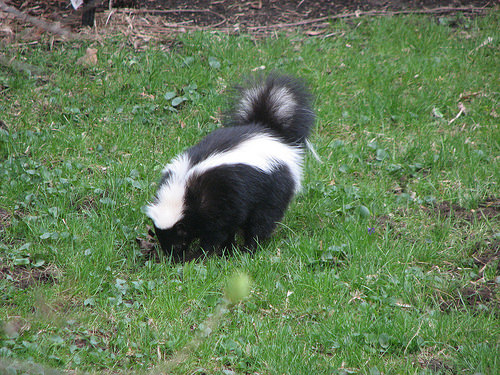 skunk trapping near me
