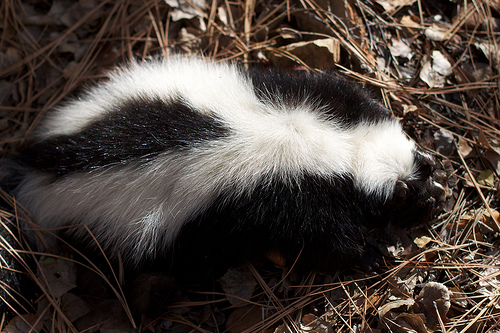 Skunk Removal Near Me